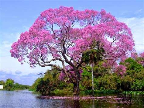 beautiful tree chidinma inspirations the world most beautiful tree