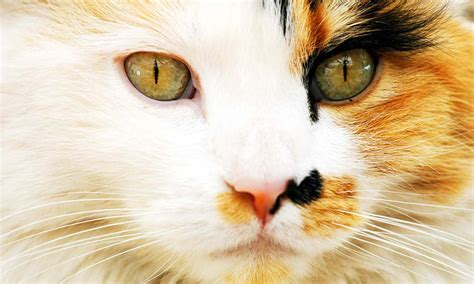 why are calico cats only female popular mechanics