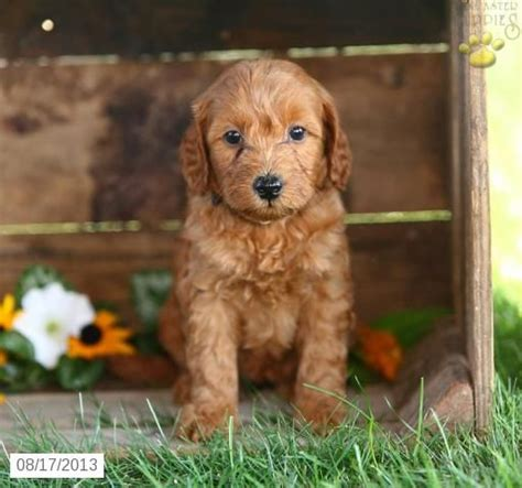 goldendoodle puppy for sale in pa 25 best images about things i on of
