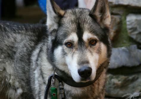 that looks like a wolf or wolf looks like a husky mix daniel paullada flickr