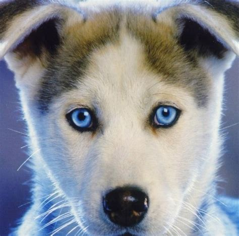 blue eyed puppies the gallery for gt husky puppies with blue wallpaper