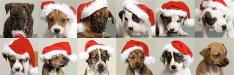 12 dogs of 12 dogs of adorable blue cross puppies need new homes metro news