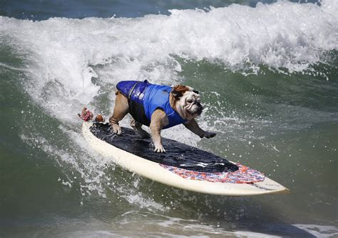 surfing competition surfing dogs that can ride a wave better than you nbc news