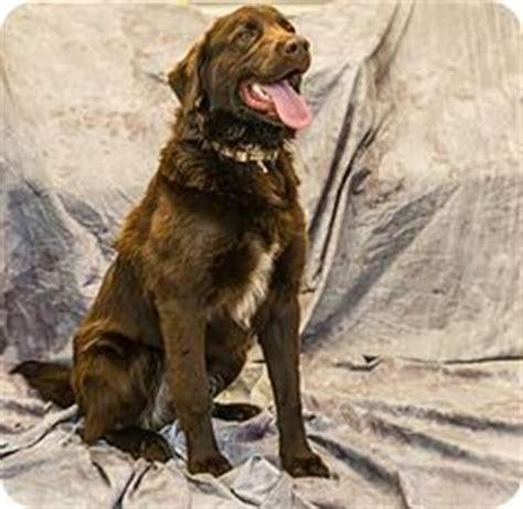 chesapeake bay retriever and golden retriever mix beagle german shepherd mix dogs beagle german shepherd mix and german
