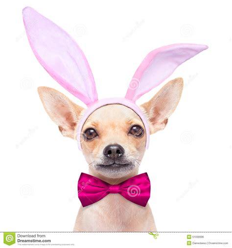 bunny ears for dogs bunny ears stock photo image 51039996