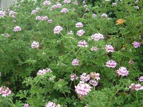 image gallery pelargonium graveolens