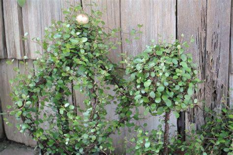vine topiary vine sperling nursery gift shop