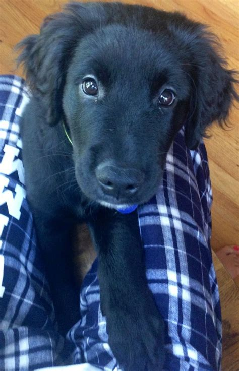 black golden retriever puppies 25 best ideas about black golden retriever on golden retriever labrador