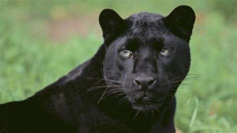 what is the scientific name for a what is the scientific name for a black panther reference