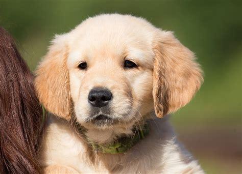 hund golden retriever kostenloses foto hund welpe golden retriever kostenloses bild auf pixabay 1196646