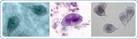 giardia symptoms in puppies giardia in dogs guide health handbook