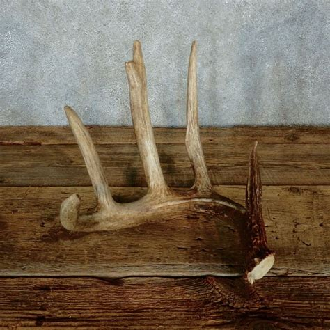 Shed Horns For Sale by Whitetail Deer Antler Shed For Sale 15452 The Taxidermy