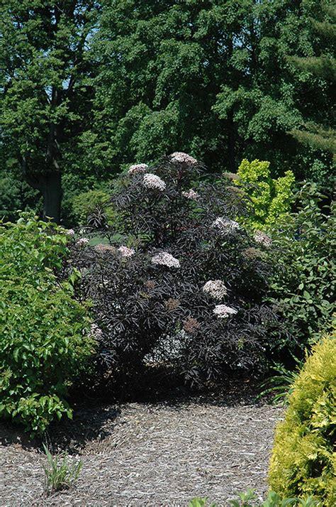 Schwarzer Holunder Black Lace by Black Lace Elder Sambucus Nigra In Inver Grove