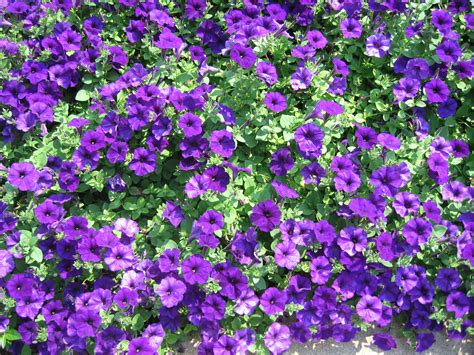 purple flower garden yes virginia there really are angels pat bean s blog