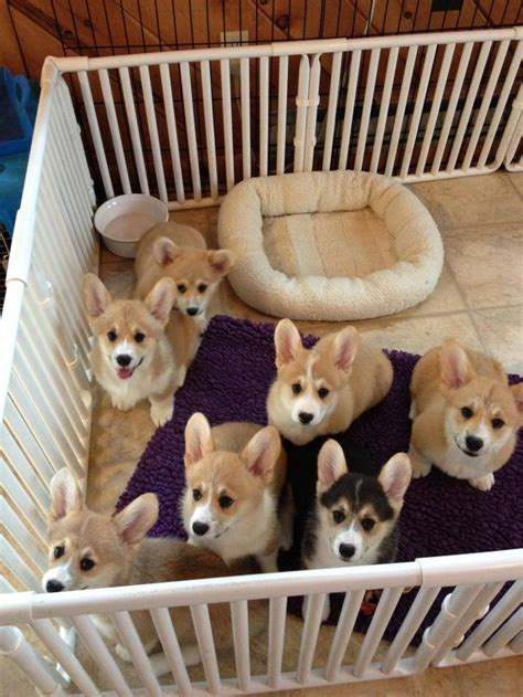 baby corgi puppies top 25 best corgi puppies ideas on corgi baby corgi and adorable puppies