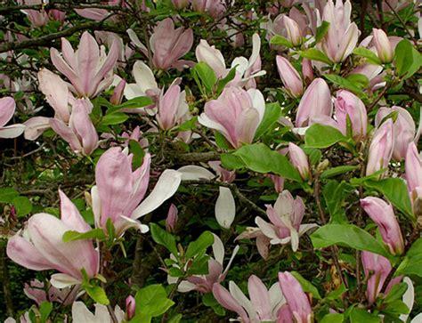 Magnolia George Henry Kern 3714 pflanzenportraits