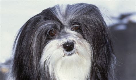 all about havanese havanese