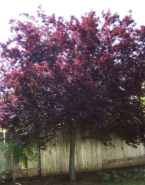 purple leaf plum tree i want one in my front yard i like this pinterest