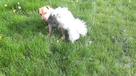 pomeranian vs terrier sharpull terrier vs pomeranian