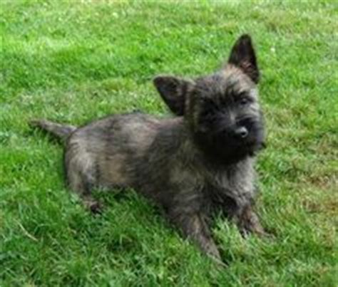 brindle cairn haircut fur balls on pinterest corgis cairn terriers and