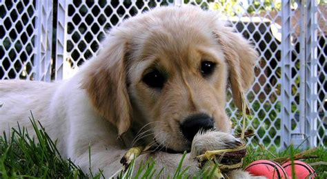 puppy primer mcconnell quot the puppy primer quot the diane rehm show