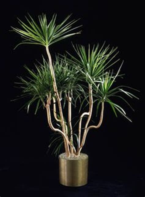 buy house plants now dracaena marginata green bakker com a large dracaena marginata tarzan propagation