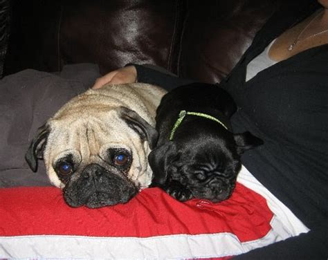 ny pug rescue pug rescue new york nyc ny ma ct nj ri adoption success story