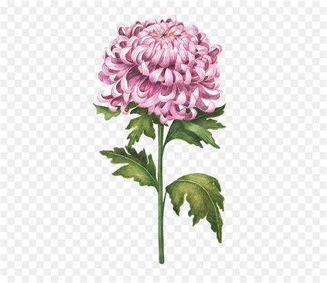 chrysanthemum watercolor painting flower drawing
