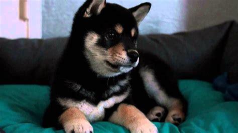 black shiba inu puppies black shiba inu puppy kimiko