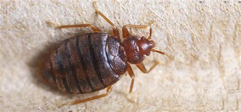 how much does bed bug extermination cost pest chat