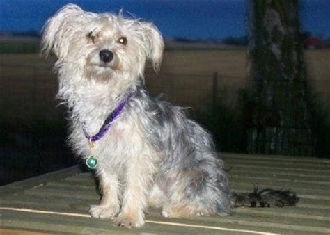 yorkie chon adults bichon yorkie breed information and pictures