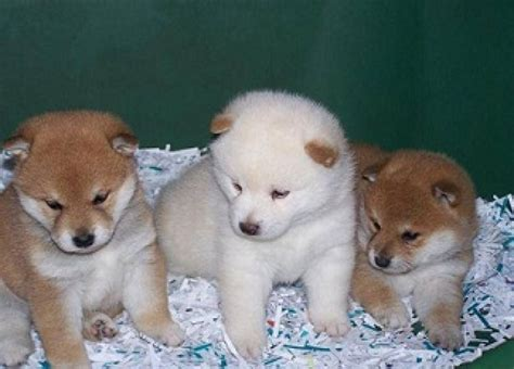 shiba inu puppies adoption akc shiba inu puppies for adoption offer