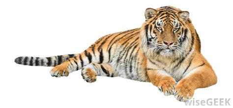 what are the different types of tigers living what are the different types of rainforest species