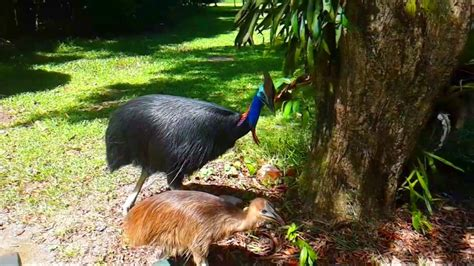 cassowary attack youtube