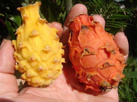 Bibit Buah Naga Orange buah naga orange gudang bibit gudang bibit