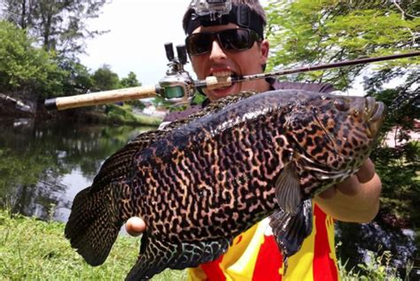jaguar guapote fishing in south florida with freshwater