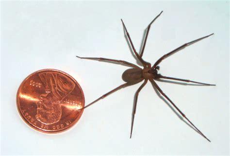 brown recluse spider gallery spider bite treatment