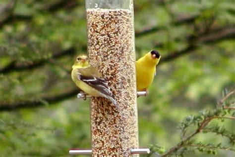north carolina mountain birds american goldfinch