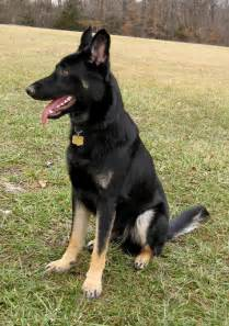 bi color german shepherd bi colors german shepherd forums