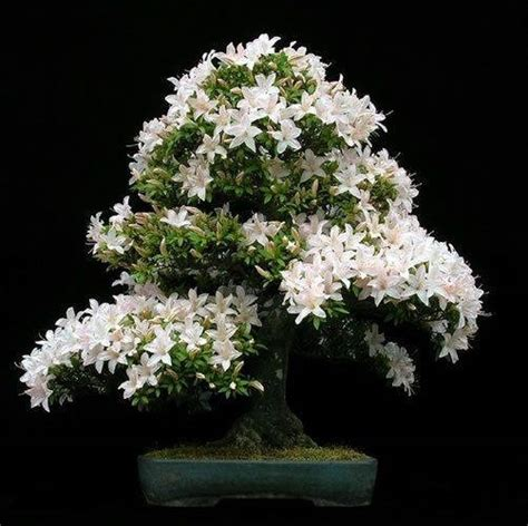 come curare il gelsomino in vaso come curare un bonsai di gelsomino fare bonsai cure