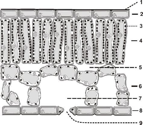 Beschriftung Querschnitt Laubblatt by Blattquerschnitte