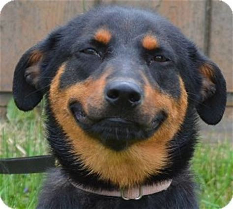 miniature pinscher golden retriever mix lou has a built in smile looking for a family