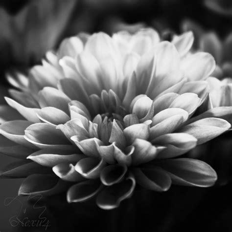 chrysanthemum flower black and white by nexu4 on deviantart