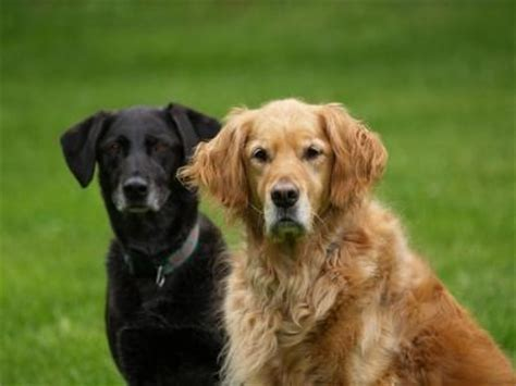 labrador or golden retriever best family dogs best family dogs lovetoknow