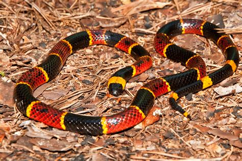 snake pattern red black yellow how to identify snakes in the field