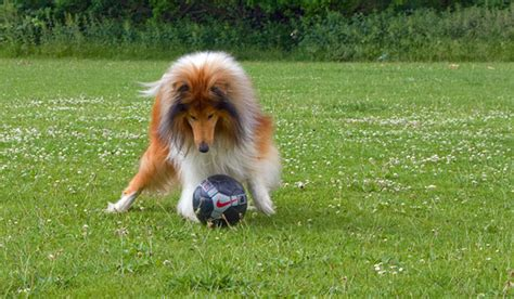 most athletic dogs the 5 most athletic breeds