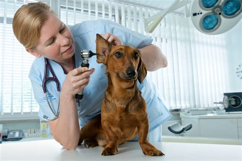 signs of ear infection in dogs ear infection and inflammation petmd
