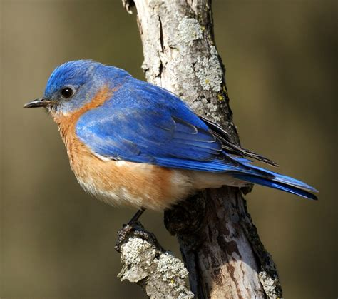 birds of the world eastern bluebird