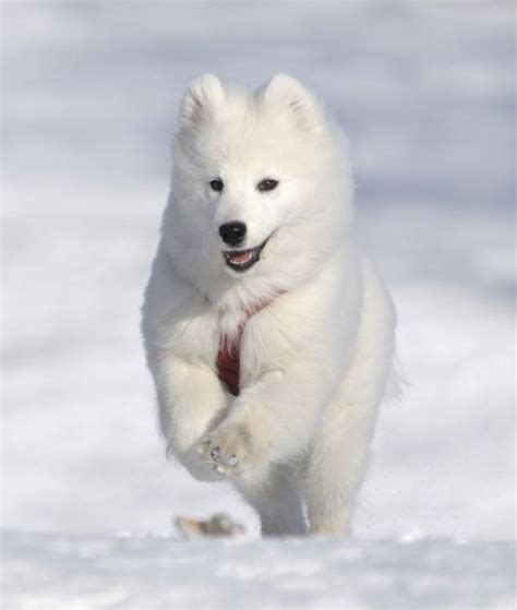 dogs in snow 10 breeds built for snow breeds