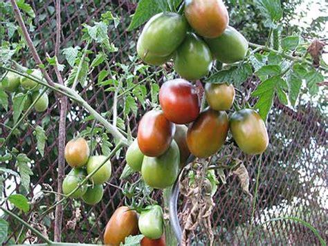 Tomot Black Plum unsere tomaten 2009 teil 1 black plum